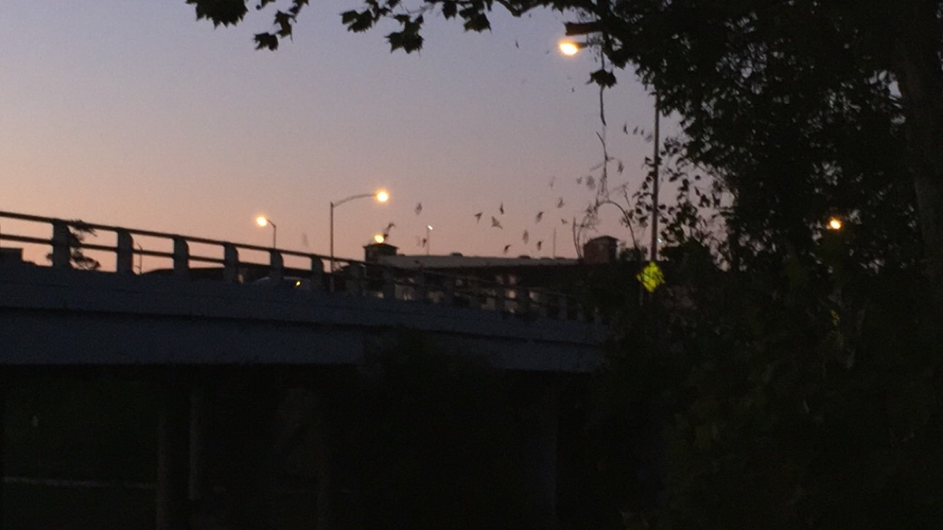 Houston Bat Show by the Jackson Hill Bridge