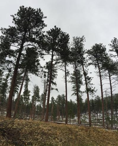 Black Hills Forest